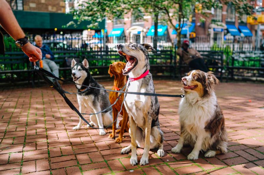 fyra hunder i koppel, hitta en bra hundvakt