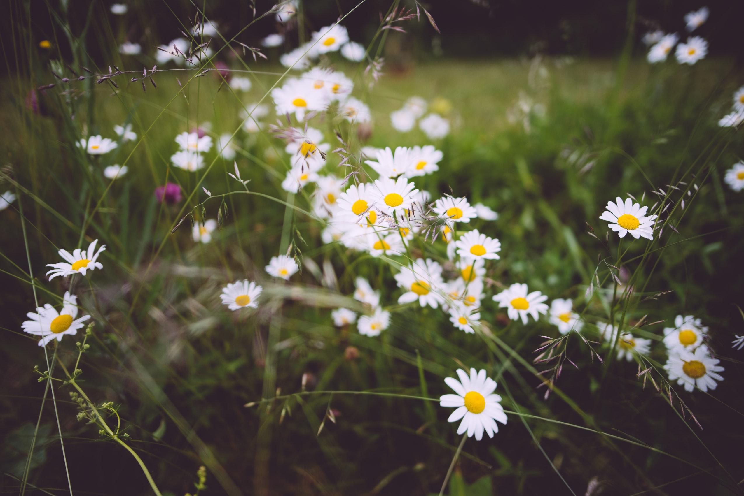 en av 5 saker att göra i trädgården i juni kan vara att odla prästkragar
