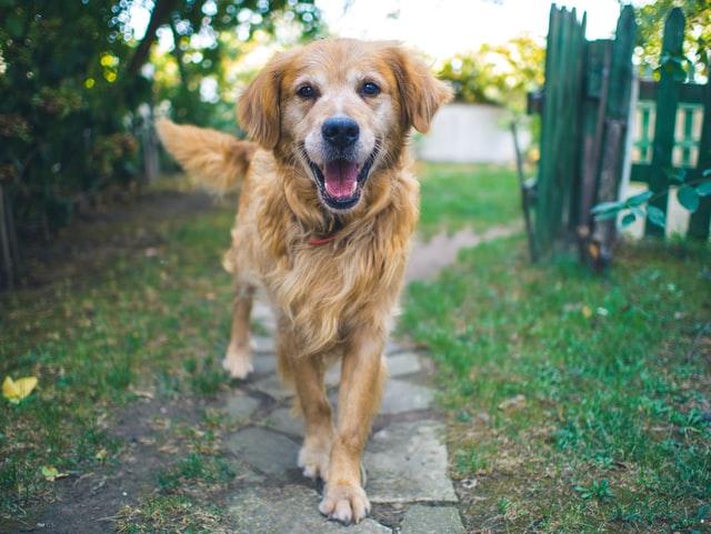Hundnamn - golden retriever