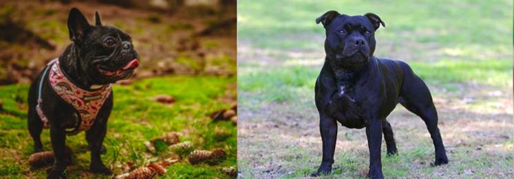 Fransk bulldogg vs Staffordshire bullterrier