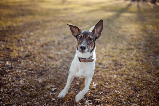 Hundnamn - Jack russel