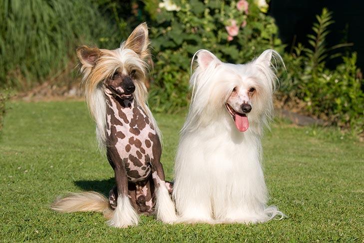 Chinese crested dog - allergivänlig hund