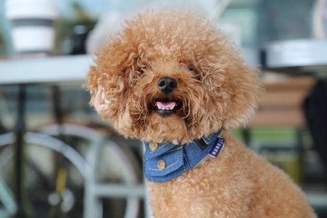 Pudel - allergivänlig hund
