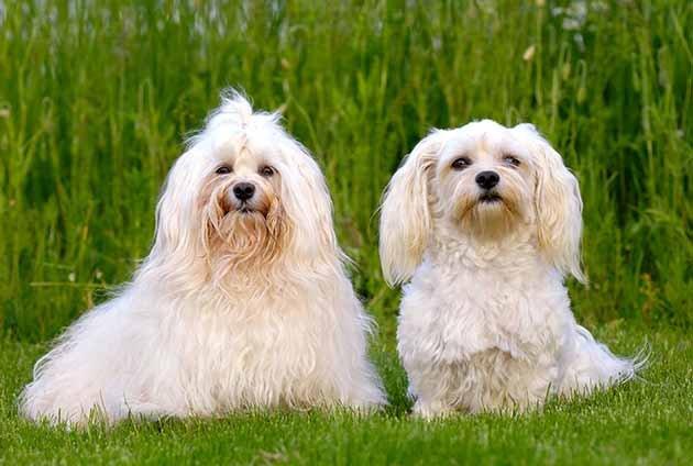 Bichon havanais - allergivänlig hund