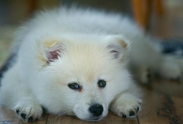 Samojed - allergivänlig hund