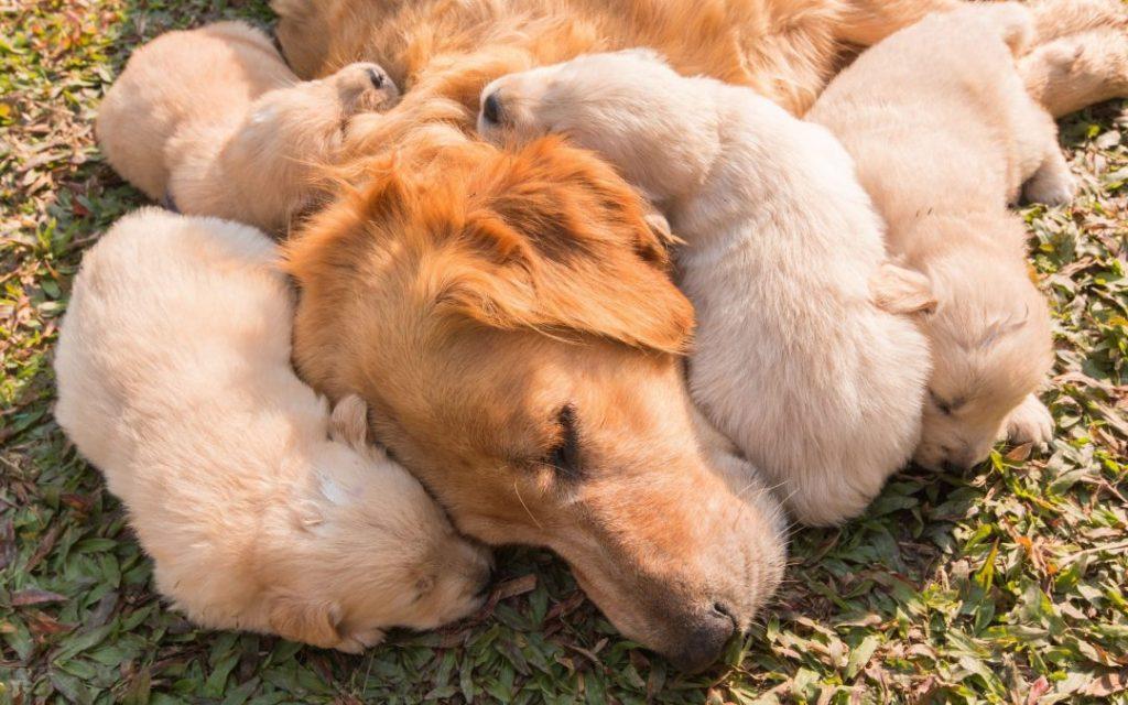 goldenvalpar - hur länge är en hund dräktig