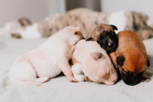 valpar - hur länge är en hund dräktig