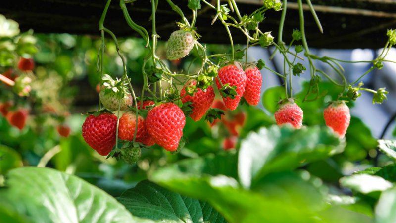Att odla smarriga jordgubbar är en hel vetenskap, men vi ska gå igenom så bra som möjligt