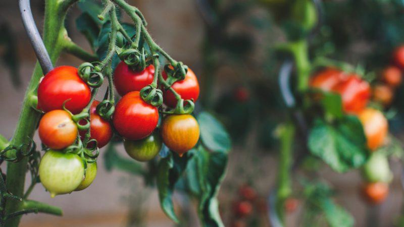 odla tomater är en konst som blivit perfekt i södra europa, men hur gör vi i Sverige`?