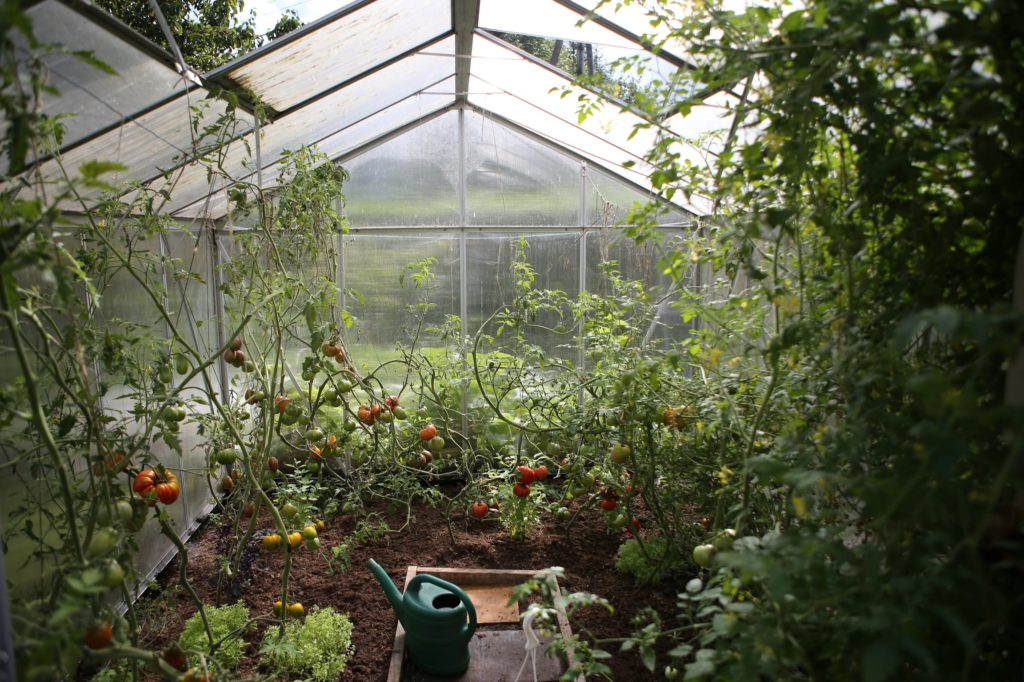 Odla tomater blir lättast i ett växthus, men de flesta saknar ett