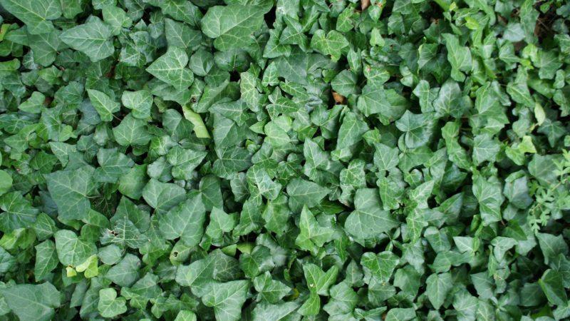Plantera murgröna inför sommaren för fin växtlighet på väggarna