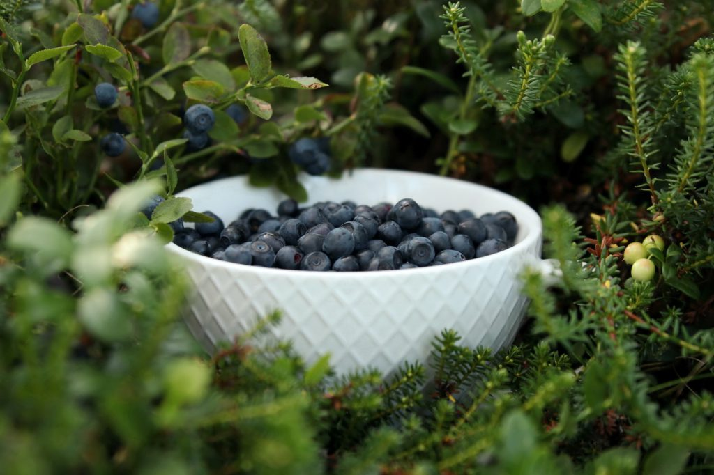 Odla dina egna blåbär för de absolut godaste