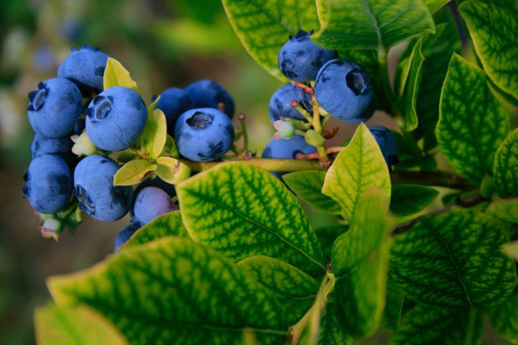 odla blåbär innebär inte bara att stoppa ned plantan i marken, också om att äta dem!