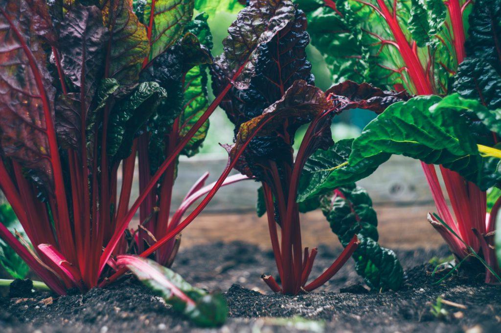 Man kan odla mangold lite var som helst, den är väldigt enkel att ta hand om