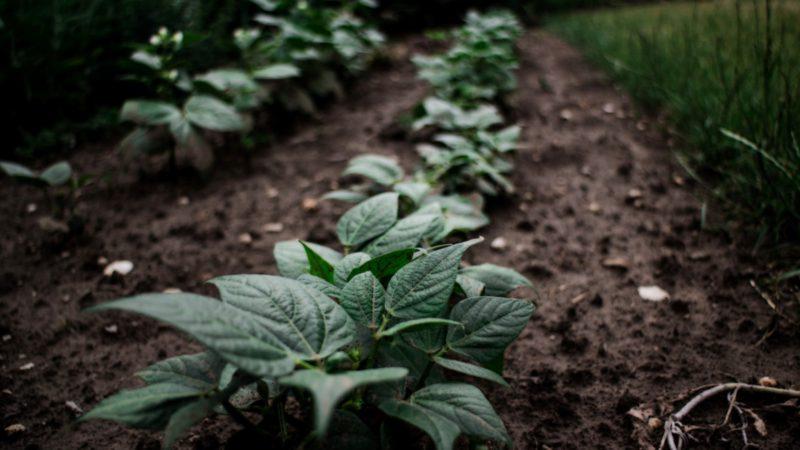 Odla din egna potatis inför sommaren