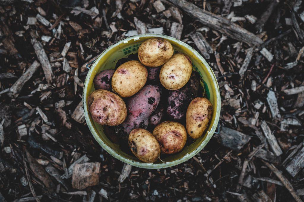 Odla egen potatis för det blir som allra bäst