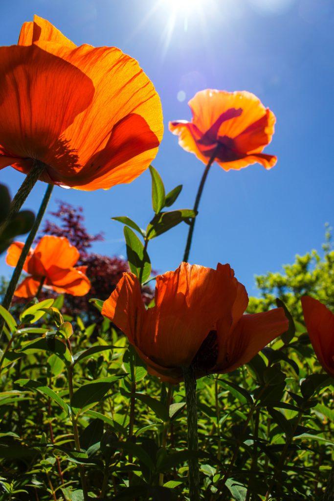 Ett exempel av perenner, vallmo som blomstrar så vackert till sommaren